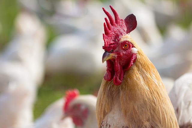 Nature, Bird, Poultry, Farm, Close, Rural, Chicken