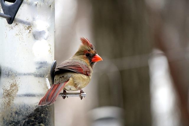 Cardinal, Bird, Feeder, Nature, Wildlife, Birdwatching