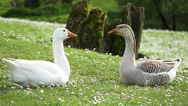 Goose, Bird, Nature, Mare