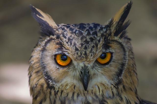 Bird Of Prey, Wild Life, Birds, Strigiformes, Nature