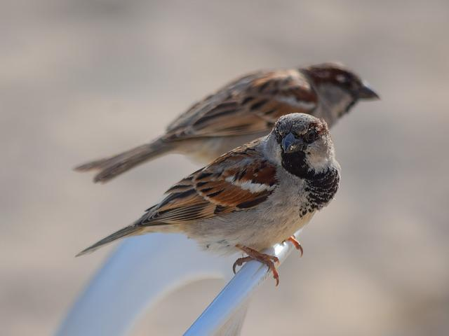 Sparrow, Nature, Outdoors, Bird, Wildlife, Animal