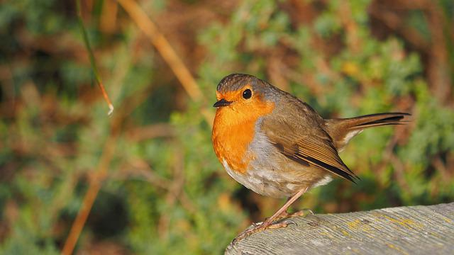 Nature, Fauna, Bird, Animal, Robin