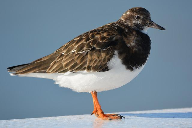 Bird, Animal, Nature, Ruddy Turnstone