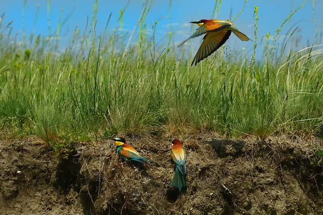Nature, Bird, European Bee Eater, The Flying Bee-eaters