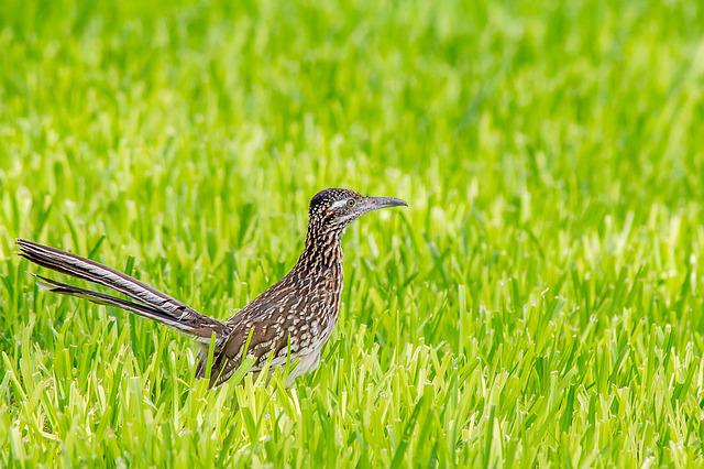 Greater Roadrunner, Bird, Wildlife, Animal, Nature