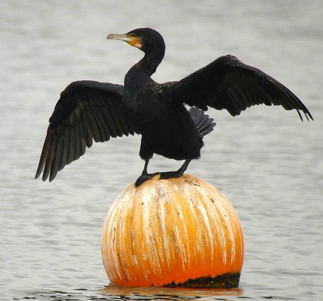 Great Cormorant, Birds, Nature
