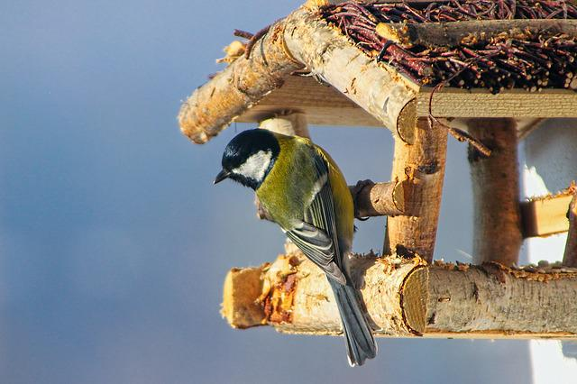 Nature, Birds, Great Tit, Tit Bielolíca