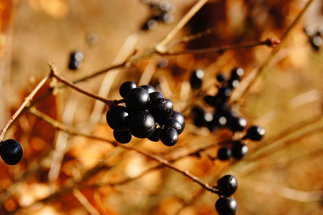 Berries, Nature, Autumn, Bush, Black