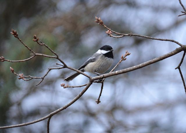 Black-capped Chickadee, Chickadee, Black-capped, Nature