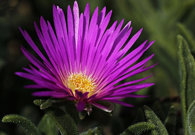 Ice Plant, Flower, Blossom, Bloom, Nature