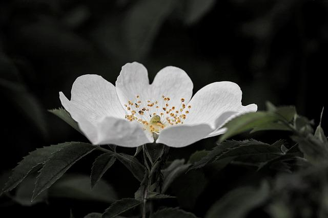 Wild Rose, Blossom, Bloom, White, Plant, Nature, Flower