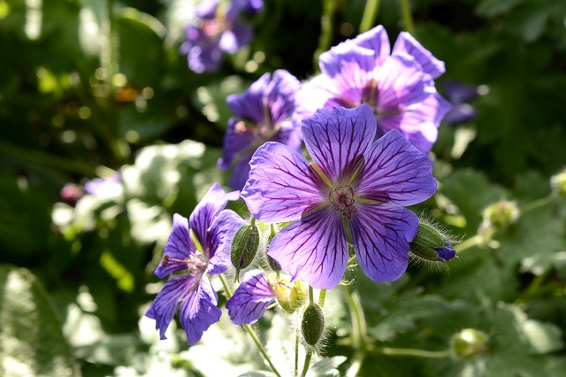 Cranesbill, Plant, Nature, Flora, Blossom, Bloom