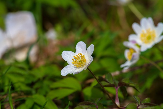 Wood Anemone, Flower, Nature, White, Blossom, Bloom