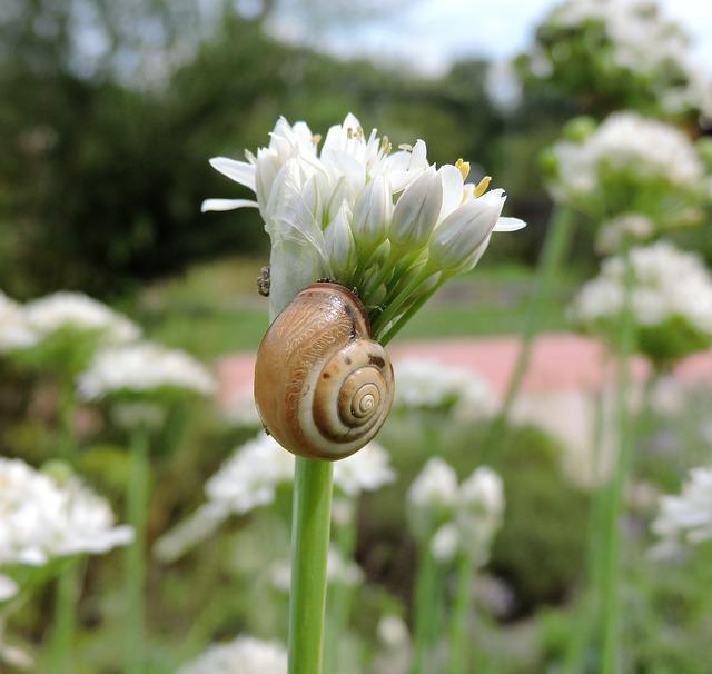 Chives, Blossom, Bloom, Snail, Chive Flowers, Nature
