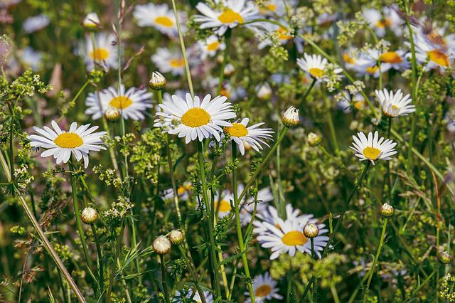 Daisies, Flowers, Bloom, Nature, Meadow, Flower Meadow