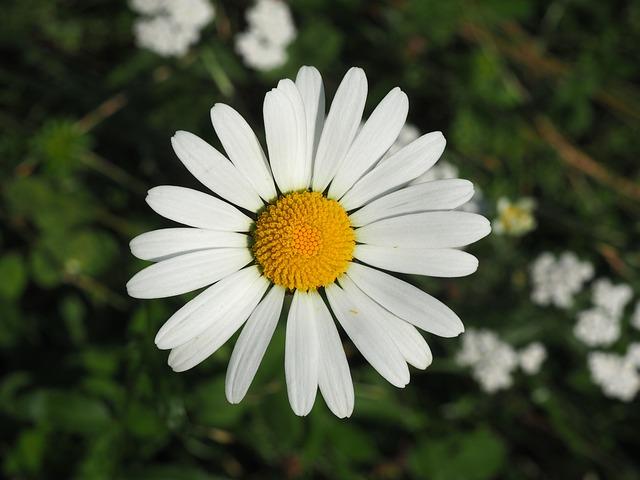 Margaret, Flower, Blossom, Bloom, Summer, Nature
