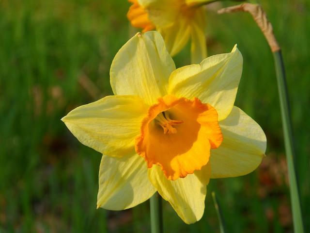 Narcis, Spring, Flower, Bloom, Nature, Color