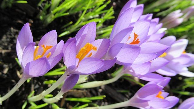 Nature, Flower, Flora, Garden, Crocus, Blooming