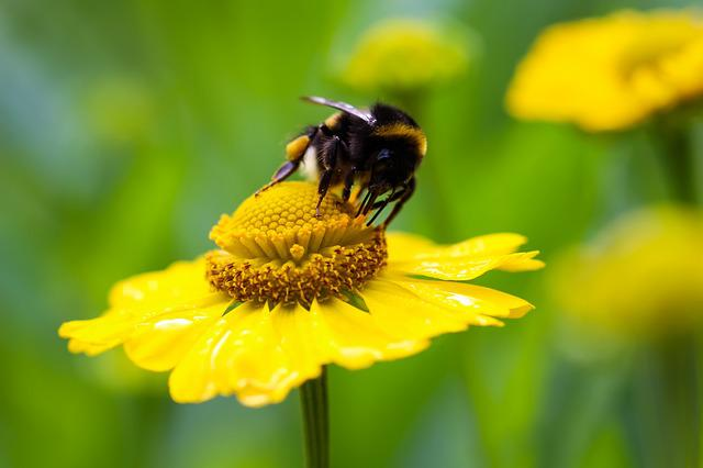 Hummel, Flower, Yellow, Blossom, Bloom, Nature, Insect