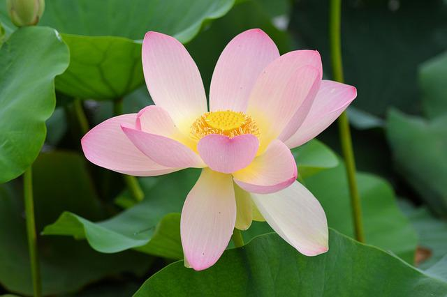 Flower, Water Lily, Nature, Aquatic Plant, Blossom