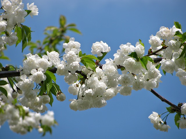 Tree, Blossom, Blossoms, Spring, Nature, Colors, White
