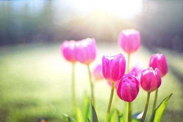 Tulips, Pink, Spring, Flowers, Floral, Nature, Blossoms