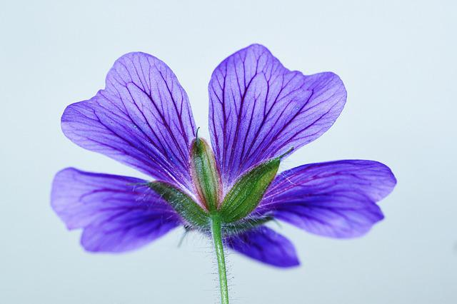 Cranesbill, Blossom, Bloom, Blue, Bloom, Flower, Nature