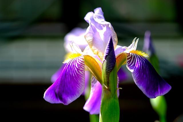 Iris, Blossom, Bloom, Blue, Flower, Nature, Garden