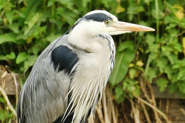 Heron, Bird, Beak, Blue Heron, Babu, Nature, Wings