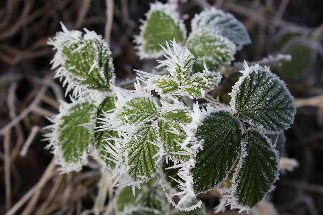 Bramble, Winter, Cold, Frost, Eiskristalle, Nature