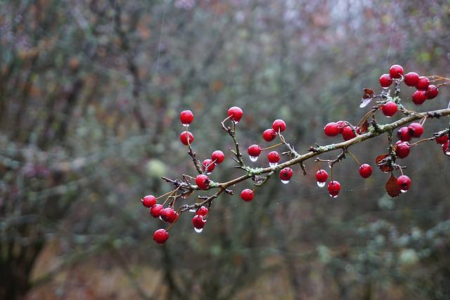 Hawthorn Berries, Branch, Autumn, Nature