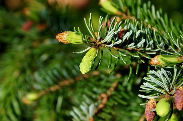 Pine Branch, Engine, Needles, Branch, Spruce, Nature