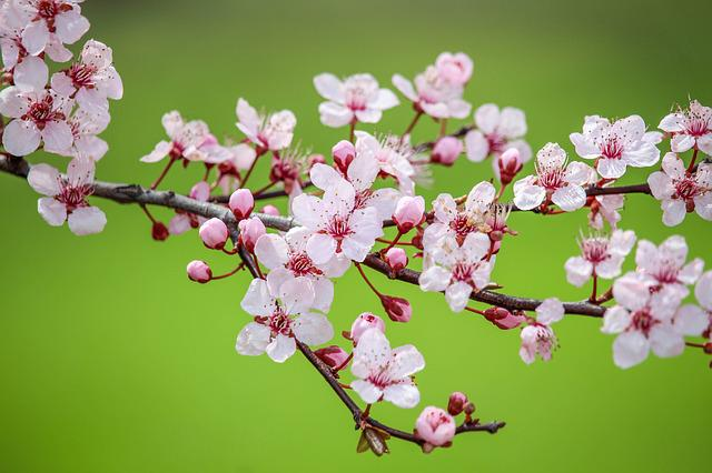 Flower, Nature, Cherry, Flora, Branch