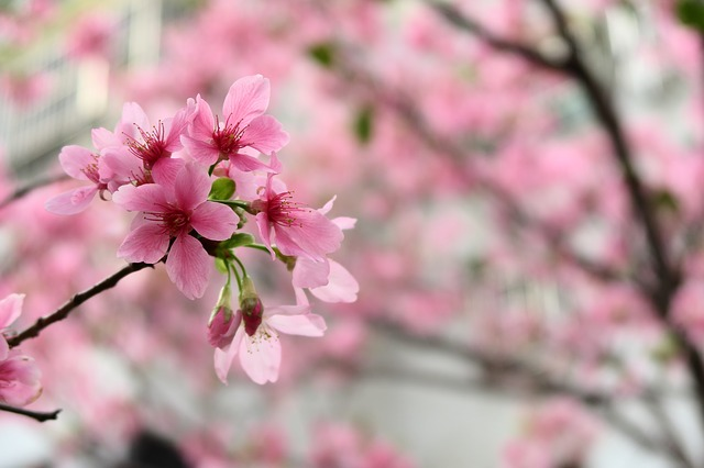 Flower, Cherry Wood, Nature, Plant, Branch