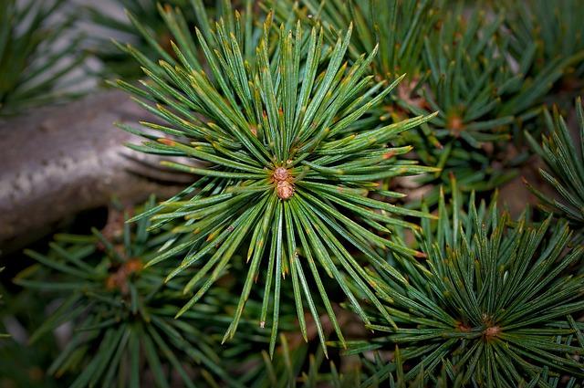 Tree, Needles, Conifer, Cedar, Plant, Branch, Nature