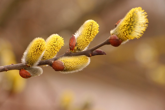 Pussy Willow, Spring, Nature, Branch, Macro, Blooming