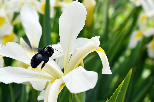 Bumblebee, Flying, Flower, Nature, Flying Insects