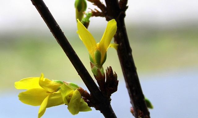 Forsythia, Bush, Early Spring, Nature, Plant