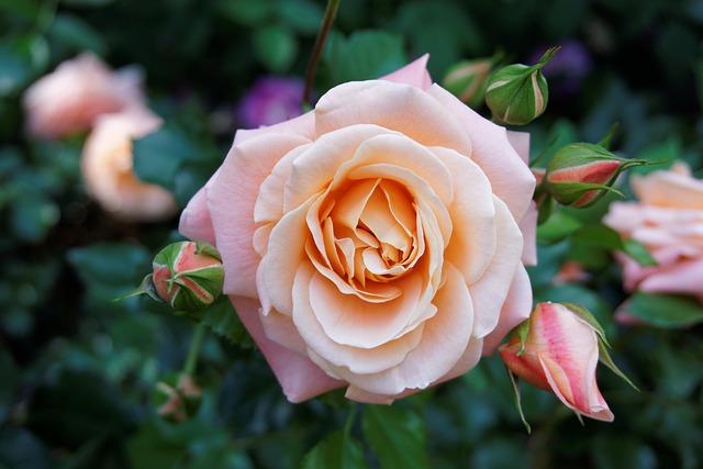 Plant, Flower, Nature, Rose Flower, Pink Rose, Bush