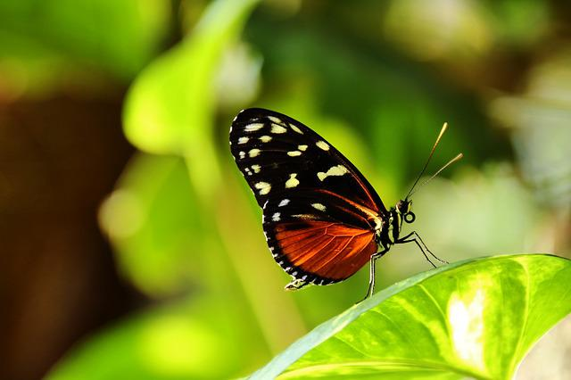Heliconius Hecale, Butterfly, Red, Black, Plant, Nature
