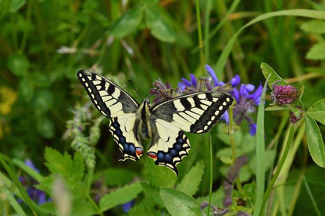 Dovetail, Papilio Machaon, Butterfly, Nature