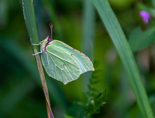 Gonepteryx Rhamni, Butterfly, Edelfalter, Nature