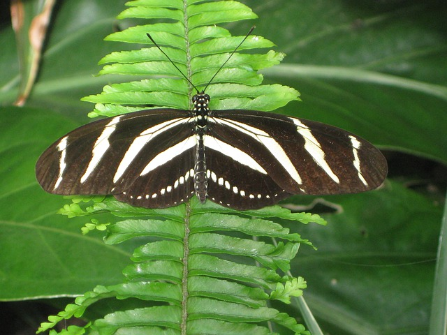 Butterfly, Insect, Animal, Fern, Nature, Black, White