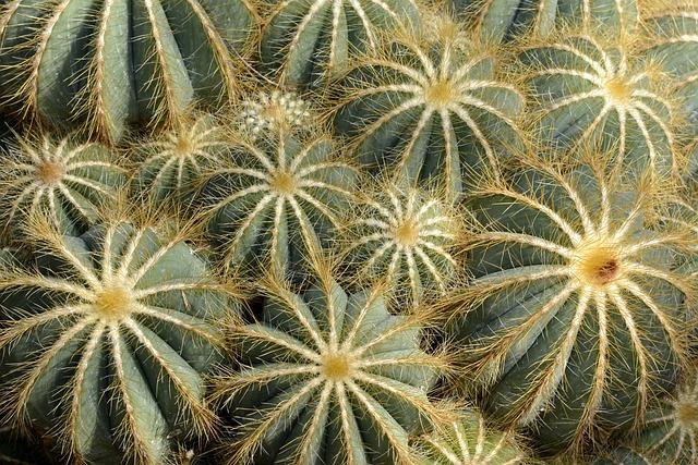 Cactus Parodia Magnifica, Tropical, Nature