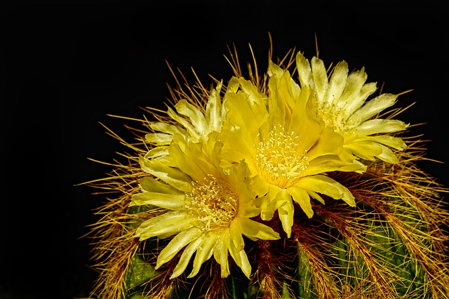 Nature, Plant, Cactus, Cactus Flowers, Close Up, Summer