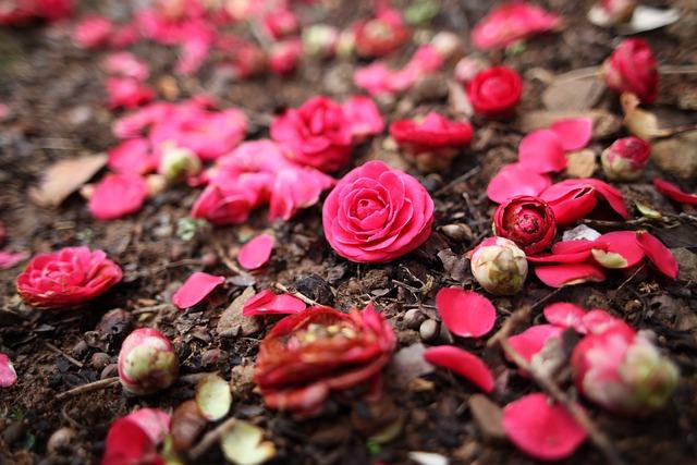 Spring, Flowers, Camellia, Camellia Flower, Nature