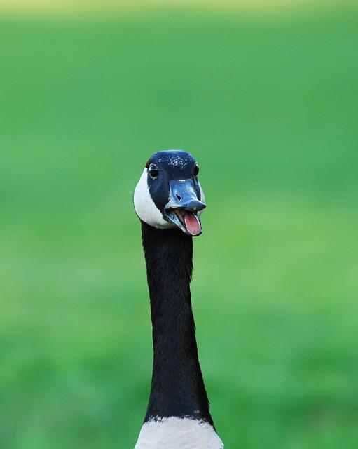 Canada Goose, Goose, Wildlife, Waterfowl, Nature