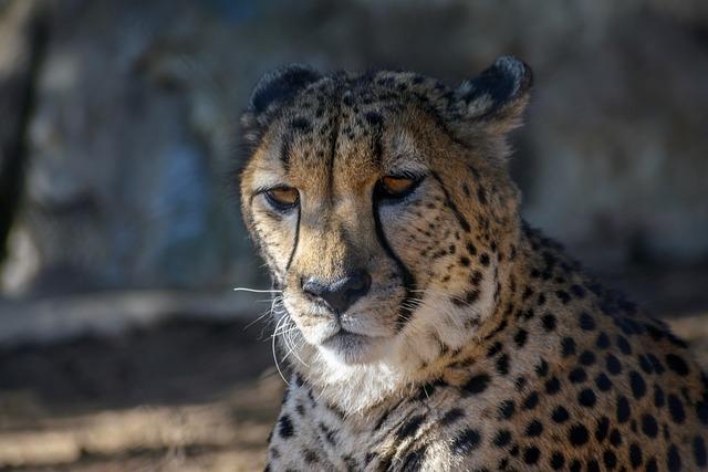 Leopard, San Diego, Animal, Zoo, Cat, Wildlife, Nature