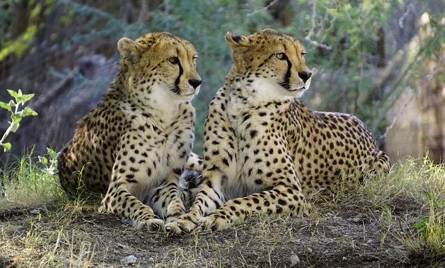 Cheetah, Nature, Wildlife, Cat