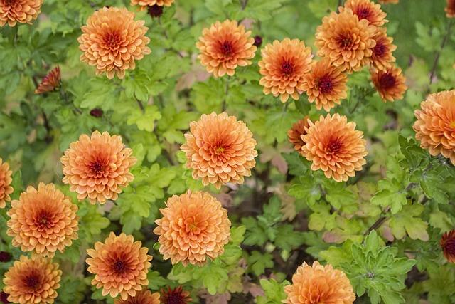Chrysanthemum, Flowers, Colour, Floral, Nature, Garden